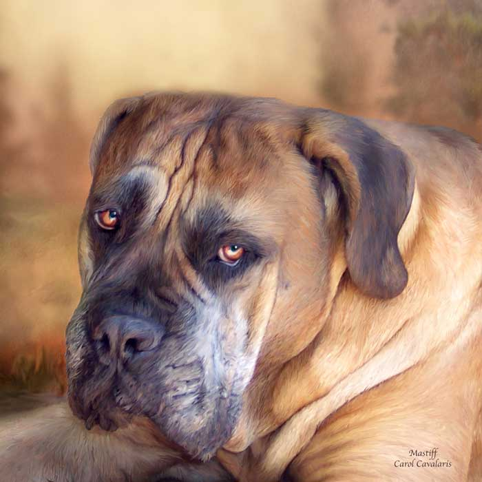 Mastiff Portrait