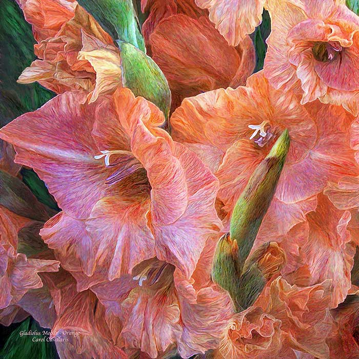 Gladiolus Moods Orange Peach