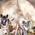 Wolves Young And Wild