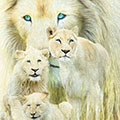 White Lion Family Forever